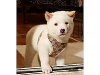 American Akita Pedigree Male last puppy left!!!