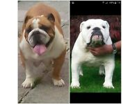 Show quality english bulldog puppies sired by muti European champion
