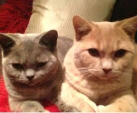 Beautiful pedigree british shorthair siblings