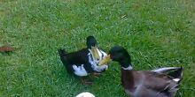 Ducks Krambach Greater Taree Area Preview