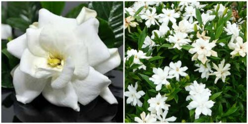 """Frost Proof Gardenia  Live Plant - Great Fragrance - Evergreen 5 to 7"""" tall"""