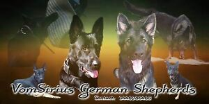 Several papered German shepherds for sale Mount Tarampa Somerset Area Preview