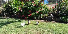 X bred bantam chicks Maitland Maitland Area Preview