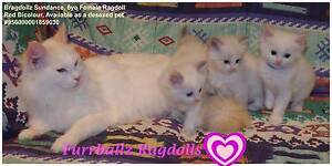 Pedigree Red Bicolour Ragdoll Adult Dandenong Greater Dandenong Preview