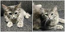 AK0924 : Sadie - CAT for ADOPTION - Vet work included Morley Bayswater Area Preview