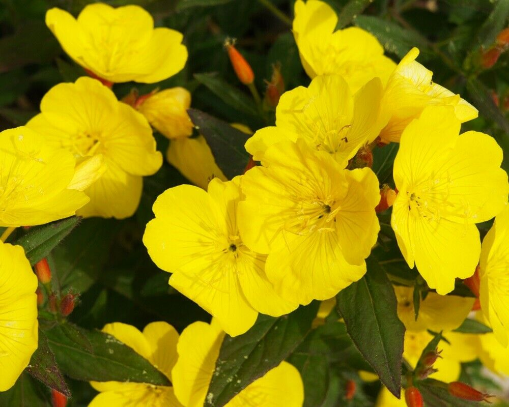 *Missouri Nachtkerze Samen, mehrjährige Nachtkerze mit kanariengelben Blüten