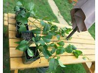 Trailing garden indoor houseplant £4 each pot- golden pothos; money plant, devil's ivy