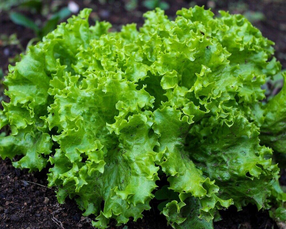 *Lollo Bionda* Pflücksalat Samen, perfekt für den Balkonkasten! Salat Samen