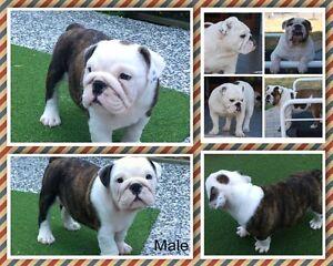 British Bulldog Puppies for sale Brisbane City Brisbane North West Preview