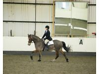 sharer wanted for my 14.3h welsh pony