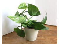 Evergreen garden indoor houseplant - golden pothos; money plant , devil's ivy - C
