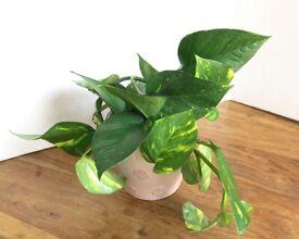 Evergreen garden indoor houseplant - golden pothos; money plant , devil's ivy B