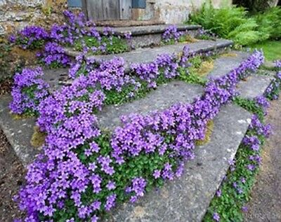 Campanula Carpatica  Tussock Bellflower    Makes A Good Container Plant  Sweet