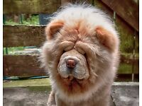 Chow Chow Male Dog 2 1/2 years Old