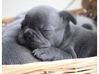 Blue french bulldogs for sale
