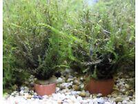 Aquarium willow moss