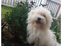Beautiful KC Maltese puppy boy for sale 3.5 months old