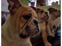 3 KC Registered Stunning English Bulldog Girls