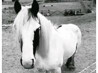 Piebald cob for sale