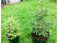 Home grown potted Christmas trees with roots FVAERSHAM AREA