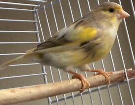 Canary females