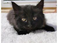 kitten ragdoll crossed