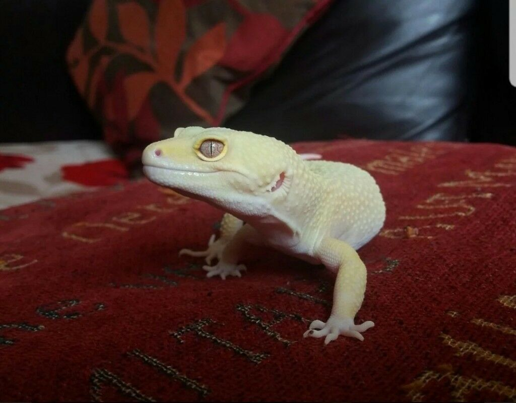 RARE Rainwater Albino Patternless Leopard Geckos for Sale | in Baguley,  Manchester | Gumtree