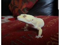 RARE Rainwater Albino Patternless Leopard Geckos for Sale