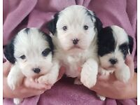 Shichon Puppies F1 Hybrids
