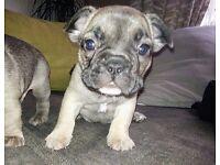 Kc Cute French bulldog puppies