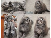 Extremely Fluffy gorgeous kittens - Different colors different prices
