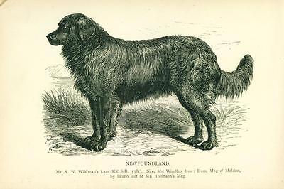 ANTIQUE Engraving Print 1889 named Newfoundland Dog
