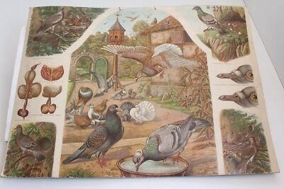 Old Schulwandtafel Wall Chart Birds Pigeon Felsentaube Ringeltaube