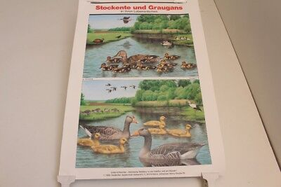 Schulwandkarte Wall Chart Card Mallard And Greylag Goose IN Your Lebensräumen