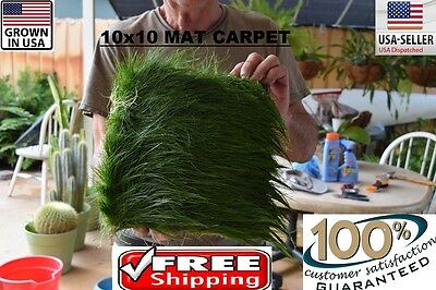 HUGE BIG dwarf hairgrass Mat carpet wall Easy Aquarium aquascaping planted tank