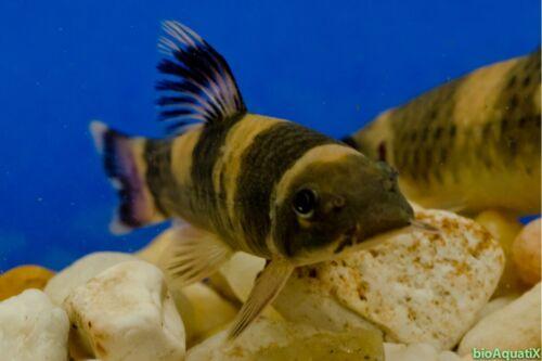 """9 Panda Garra 1.25"""", Garra Flavatra Aquarium bred and raised"""