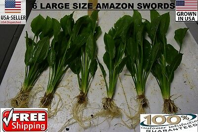 6  Large amazon sword Plant  Easy Aquarium aquascaping planted tank easy