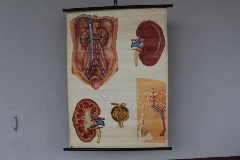 Old Schulwandkarte Role Map Wall Chart Lehrbedarf Hygienemuseum Dresden Organs