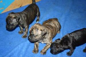 PUREBRED ENGLISH STAFFORDSHIRE PUPS STAFFY PUPPIES MALE & FEMALE Grafton Clarence Valley Preview