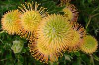 Protea ,flame Spike ,- Plants - Leucospermum X Cordifolium - Stunning Bloom -  - ebay.co.uk