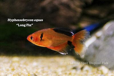 10  1 1 5  Long Fin Serpae Tetra Tr Hyphessobrycon Eques Live Freshwater