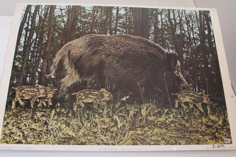 Old Schulwandtafel Wild Sow With Piglets Schulmann Stuttgart No. 4145