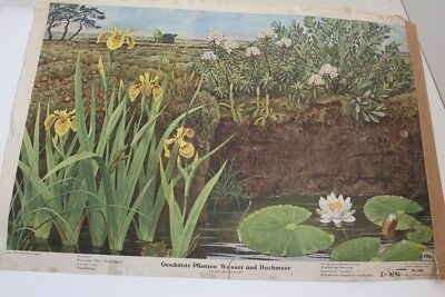 Old Schulwandtafel Wall Chart Protected Plant: Water And High Moor No. 306
