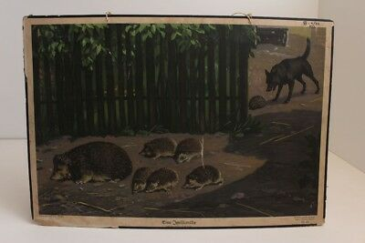 Old Schulwandtafel Wall Chart One Hedgehog Family Stuttgart 1939