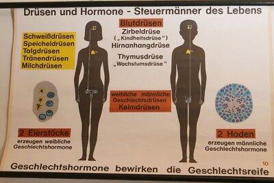 Schulwandkarte Wall Chart Hormone Geschlechtshormone Enlightenment 70er Vintage