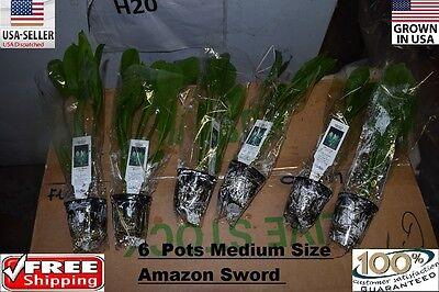 6 Pots of medium amazon sword Plant  Easy Aquarium aquascaping planted tank
