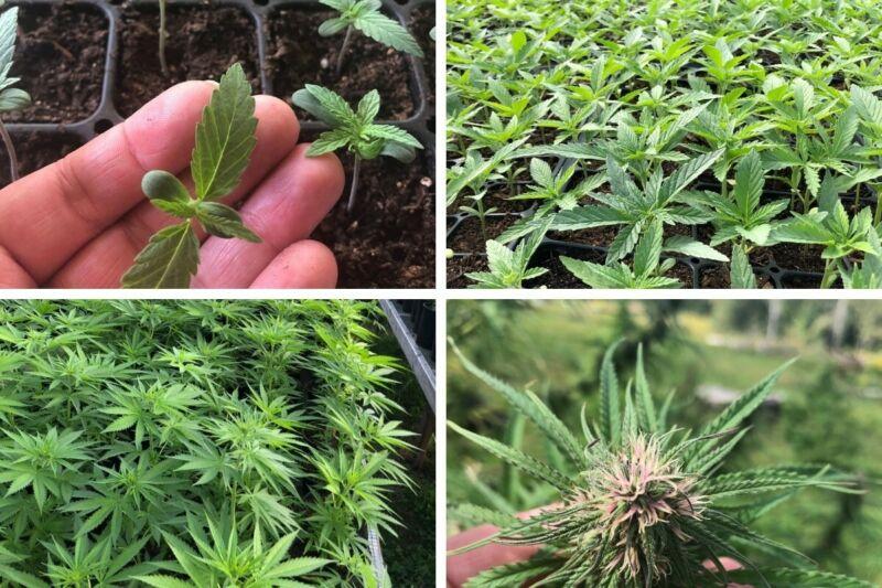 Hemp Plant Seeds