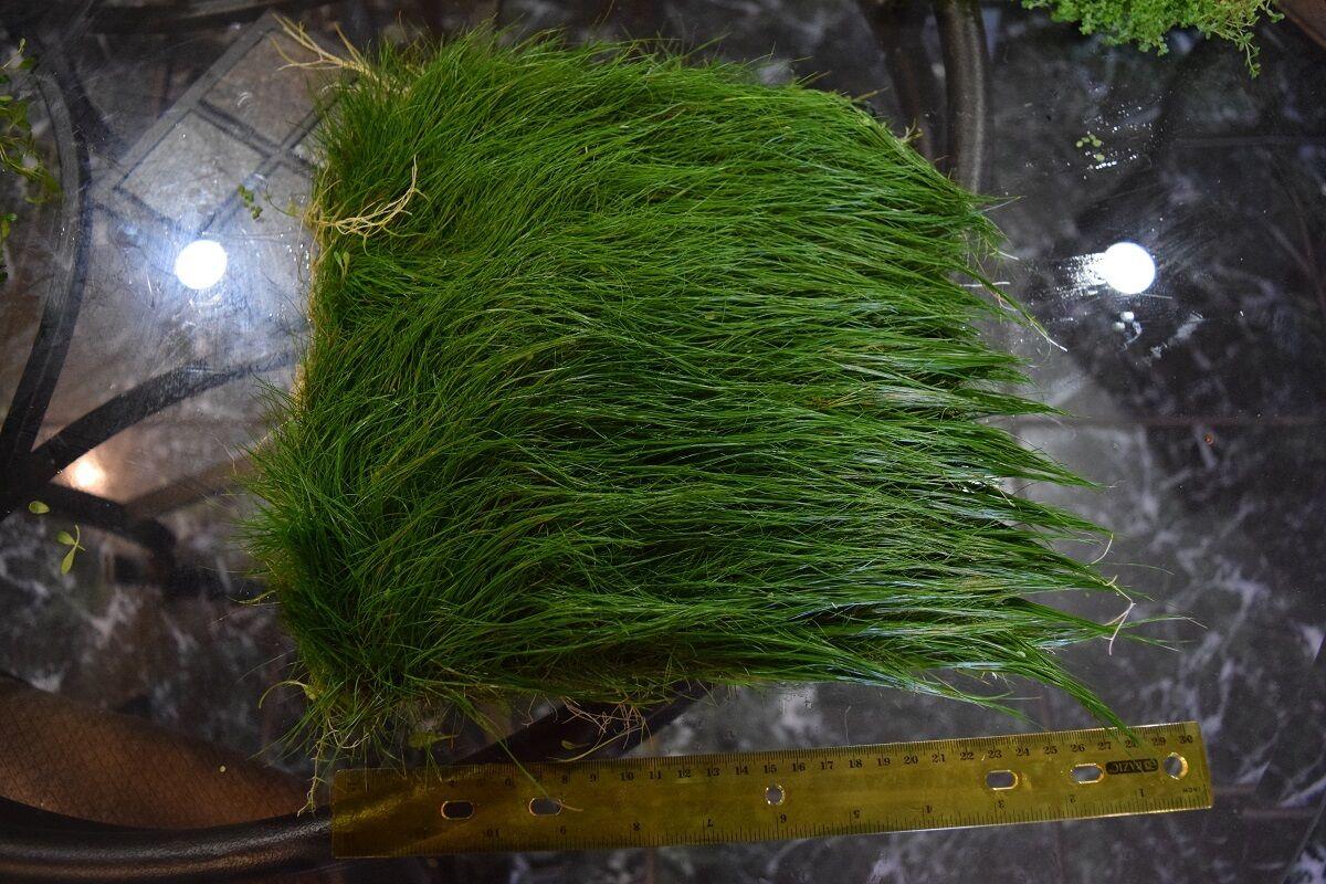HUGE BIG Dwarf Hairgrass Mat Carpet Wall Easy Aquarium Aquascaping Planted  Tank
