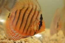 DISCUS FISH Starting from $45!! GOOD QUALITY Burnside Melton Area Preview