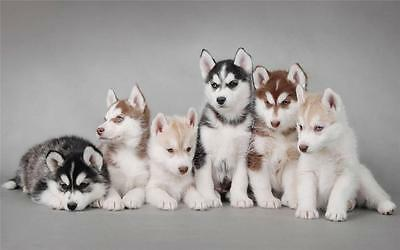 CUTE SIBERIAN HUSKY PUPPIES GLOSSY POSTER PICTURE PHOTO cool fun puppy dogs - Puppy Posters
